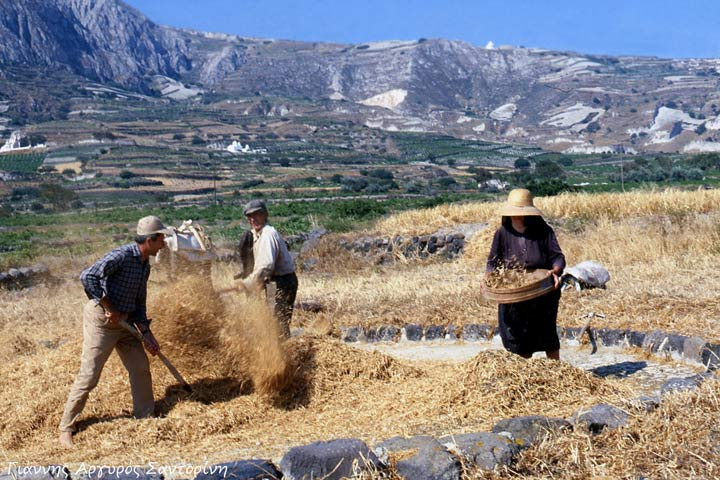Traditional Greek Fava Harvest
